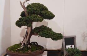 Nationale Bonsaiausstellung Hausen am Albis (1)