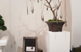 Nationale Bonsaiausstellung Hausen am Albis (4)