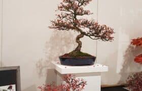 Nationale Bonsaiausstellung Hausen am Albis (8)